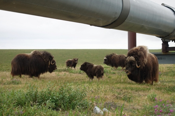 Lael Rides Alaska, Lael Wilcox, Prudhoe Bay, musk ox, musk oxen